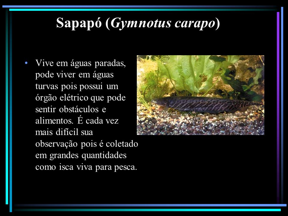 Sapapó (Gymnotus carapo) Vive em águas paradas, pode viver em águas turvas pois possui um órgão elétrico que pode sentir obstáculos e alimentos. É cad