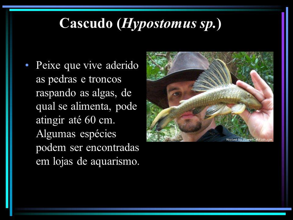 Cascudo (Hypostomus sp.) Peixe que vive aderido as pedras e troncos raspando as algas, de qual se alimenta, pode atingir até 60 cm. Algumas espécies p