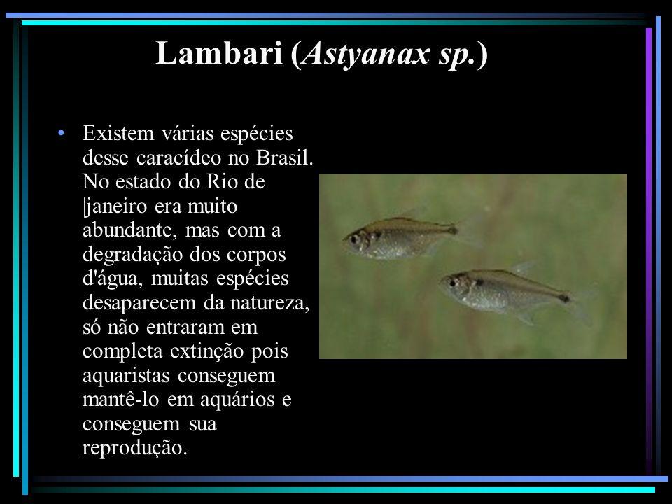 Lambari (Astyanax sp.) Existem várias espécies desse caracídeo no Brasil. No estado do Rio de |janeiro era muito abundante, mas com a degradação dos c