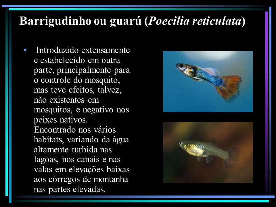 Barrigudinho ou guarú (Poecilia reticulata) Introduzido extensamente e estabelecido em outra parte, principalmente para o controle do mosquito, mas te