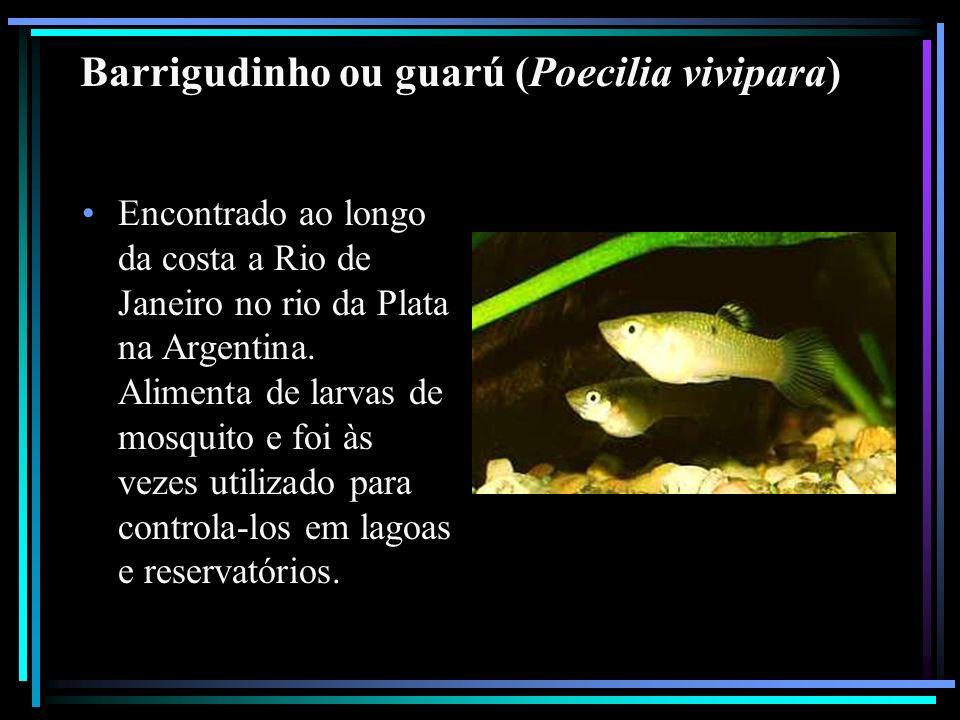 Barrigudinho ou guarú (Poecilia vivipara) Encontrado ao longo da costa a Rio de Janeiro no rio da Plata na Argentina. Alimenta de larvas de mosquito e
