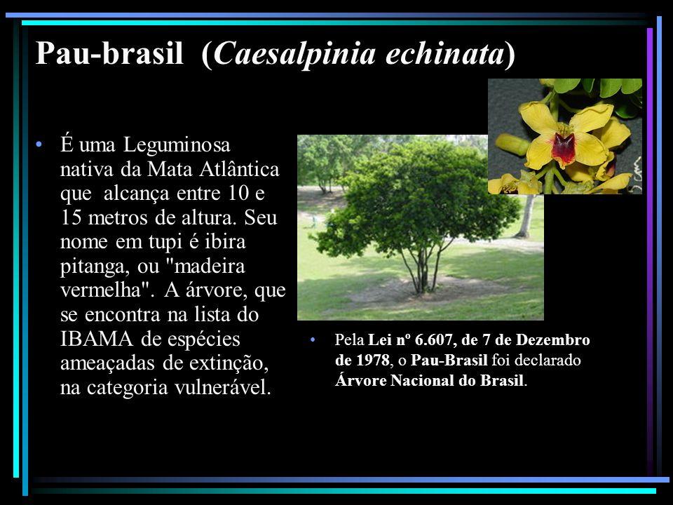 Pau-brasil (Caesalpinia echinata) É uma Leguminosa nativa da Mata Atlântica que alcança entre 10 e 15 metros de altura. Seu nome em tupi é ibira pitan