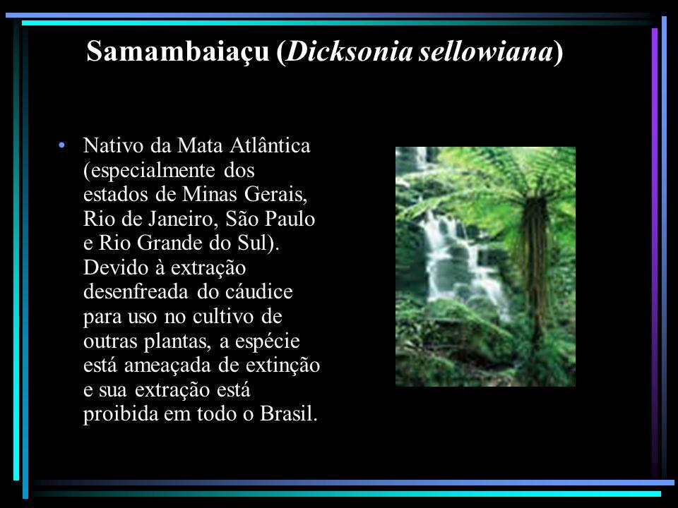 Samambaiaçu (Dicksonia sellowiana) Nativo da Mata Atlântica (especialmente dos estados de Minas Gerais, Rio de Janeiro, São Paulo e Rio Grande do Sul)