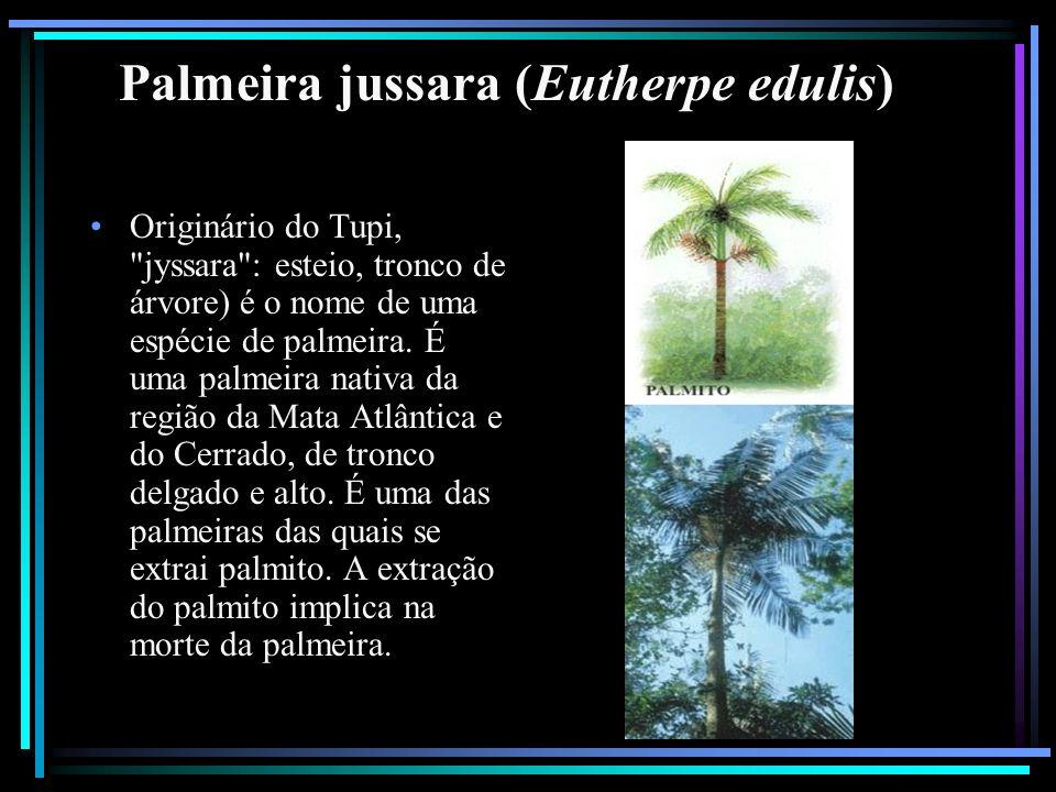 Palmeira jussara (Eutherpe edulis) Originário do Tupi,