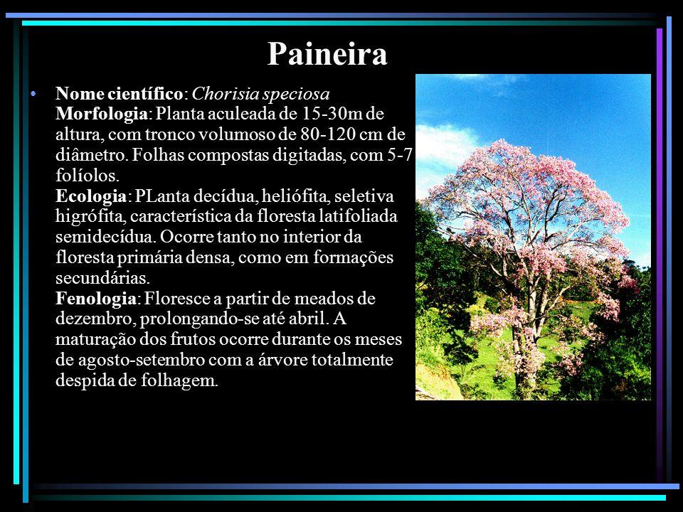 Paineira Nome científico: Chorisia speciosa Morfologia: Planta aculeada de 15-30m de altura, com tronco volumoso de 80-120 cm de diâmetro. Folhas comp