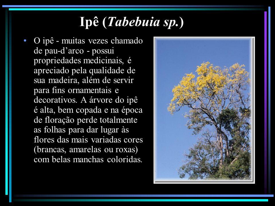 Ipê (Tabebuia sp.) O ipê - muitas vezes chamado de pau-darco - possui propriedades medicinais, é apreciado pela qualidade de sua madeira, além de serv