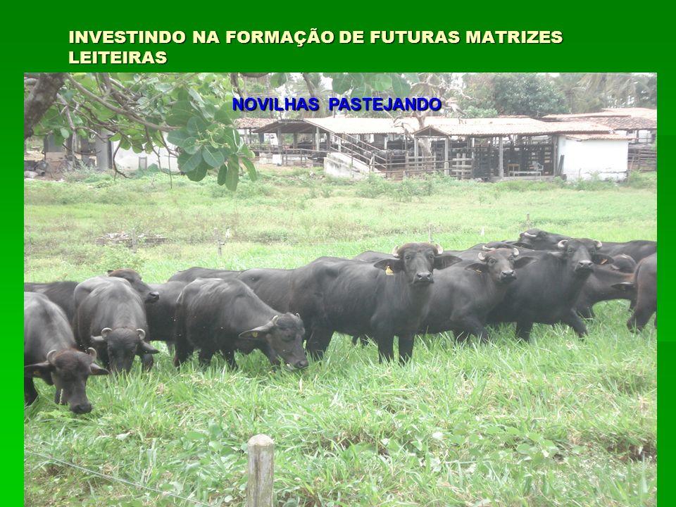 INVESTINDO NA FORMAÇÃO DE FUTURAS MATRIZES LEITEIRAS NOVILHAS PASTEJANDO