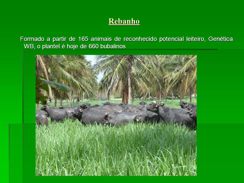 Formado a partir de 165 animais de reconhecido potencial leiteiro, Genética WB, o plantel é hoje de 660 bubalinos Formado a partir de 165 animais de reconhecido potencial leiteiro, Genética WB, o plantel é hoje de 660 bubalinos Rebanho