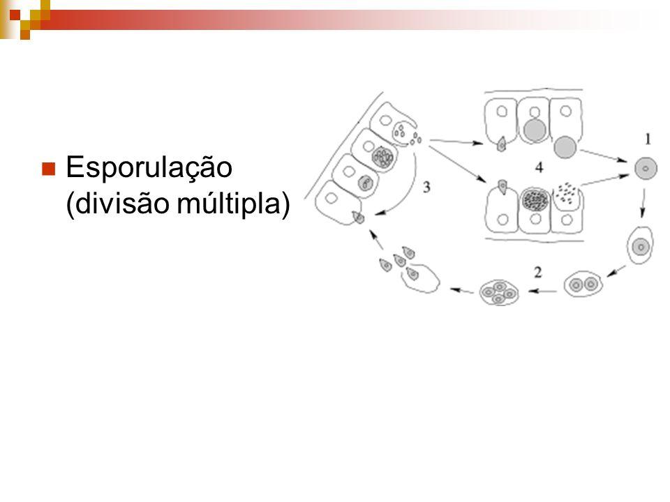 Esporulação (divisão múltipla)
