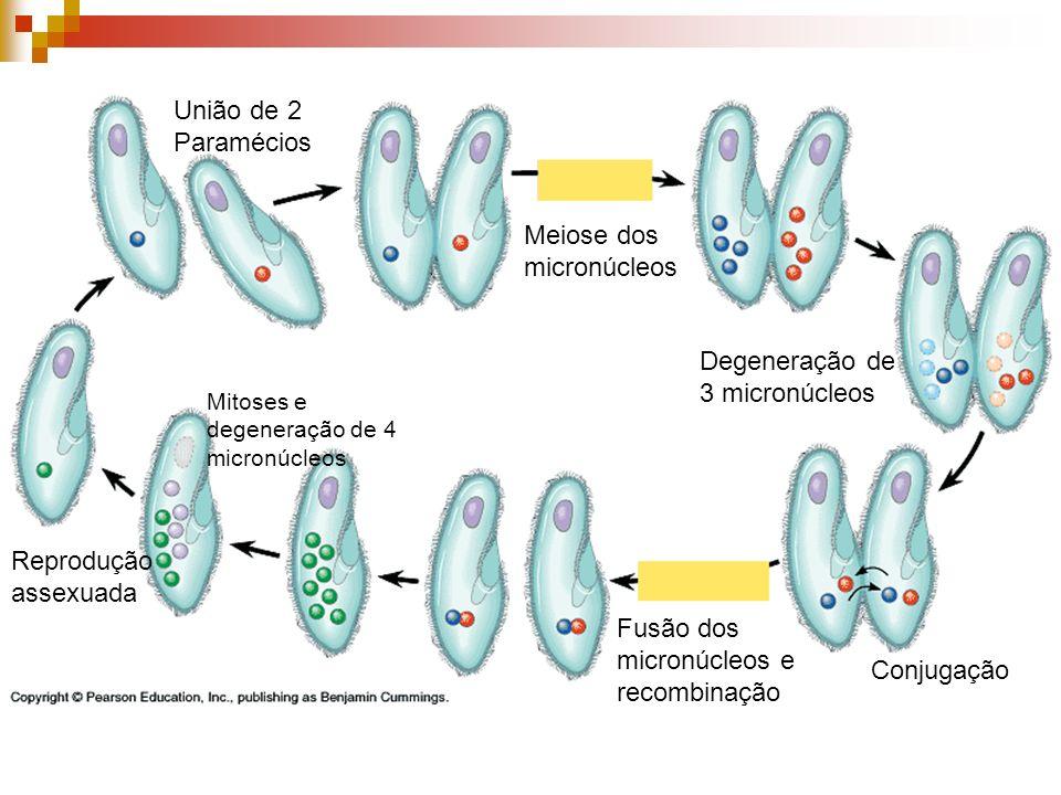 Meiose dos micronúcleos Degeneração de 3 micronúcleos Conjugação Fusão dos micronúcleos e recombinação Mitoses e degeneração de 4 micronúcleos Reprodu