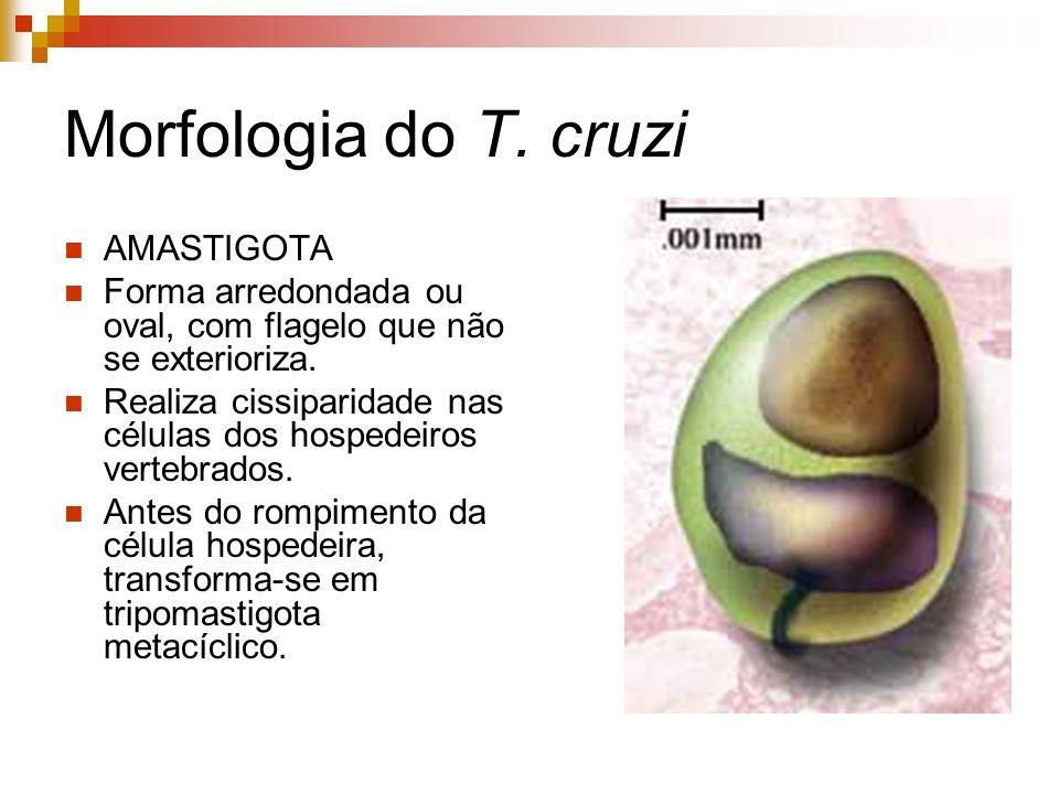Morfologia do T. cruzi AMASTIGOTA Forma arredondada ou oval, com flagelo que não se exterioriza. Realiza cissiparidade nas células dos hospedeiros ver