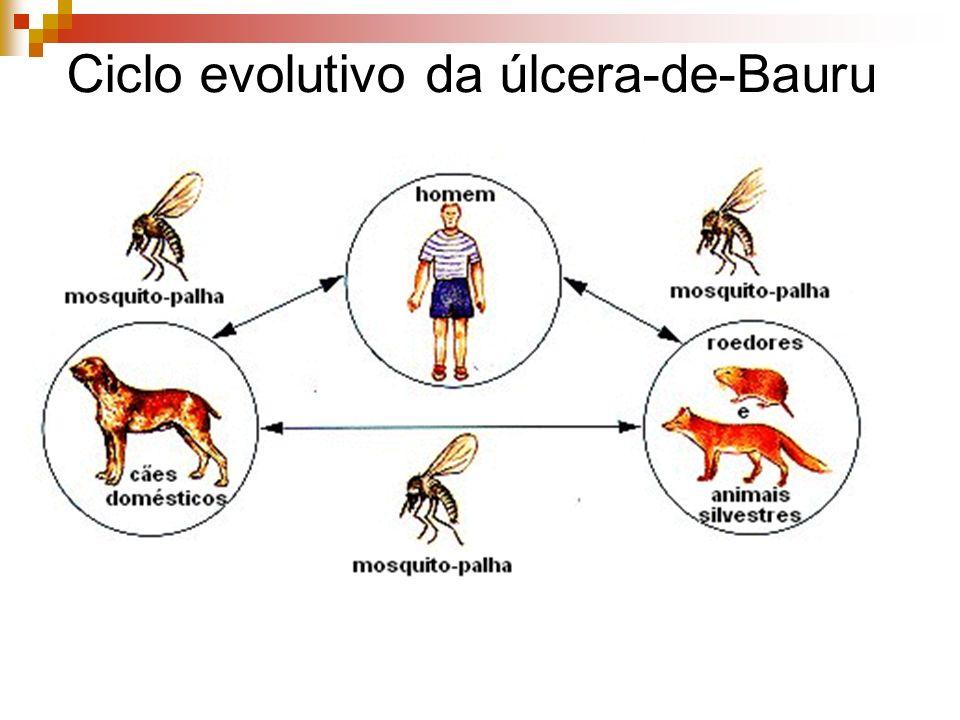 Ciclo evolutivo da úlcera-de-Bauru