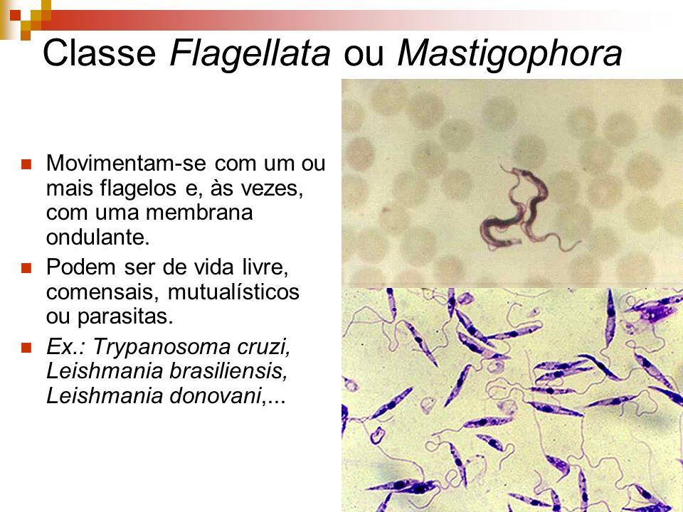 Classe Ciliata Podem apresentar cílios durante toda vida ou apenas quando jovens.