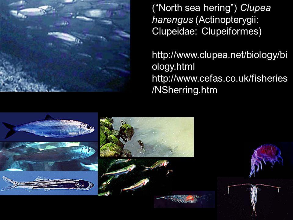 (North sea hering) Clupea harengus (Actinopterygii: Clupeidae: Clupeiformes) http://www.clupea.net/biology/bi ology.html http://www.cefas.co.uk/fisher