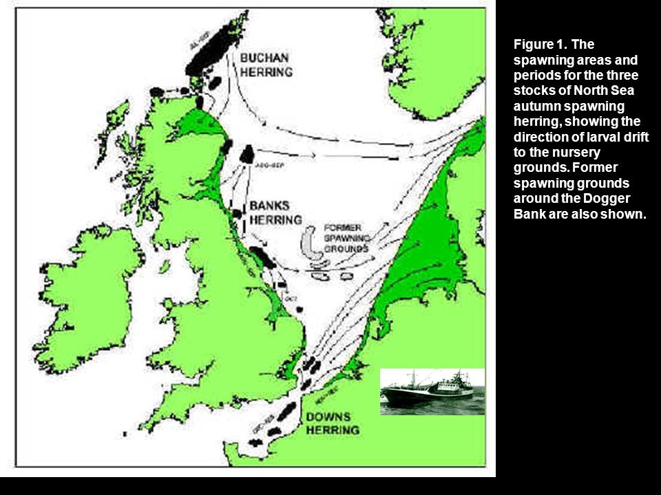 Figure 1. The spawning areas and periods for the three stocks of North Sea autumn spawning herring, showing the direction of larval drift to the nurse