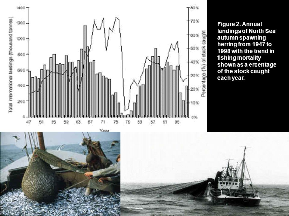 Figure 2. Annual landings of North Sea autumn spawning herring from 1947 to 1998 with the trend in fishing mortality shown as a ercentage of the stock