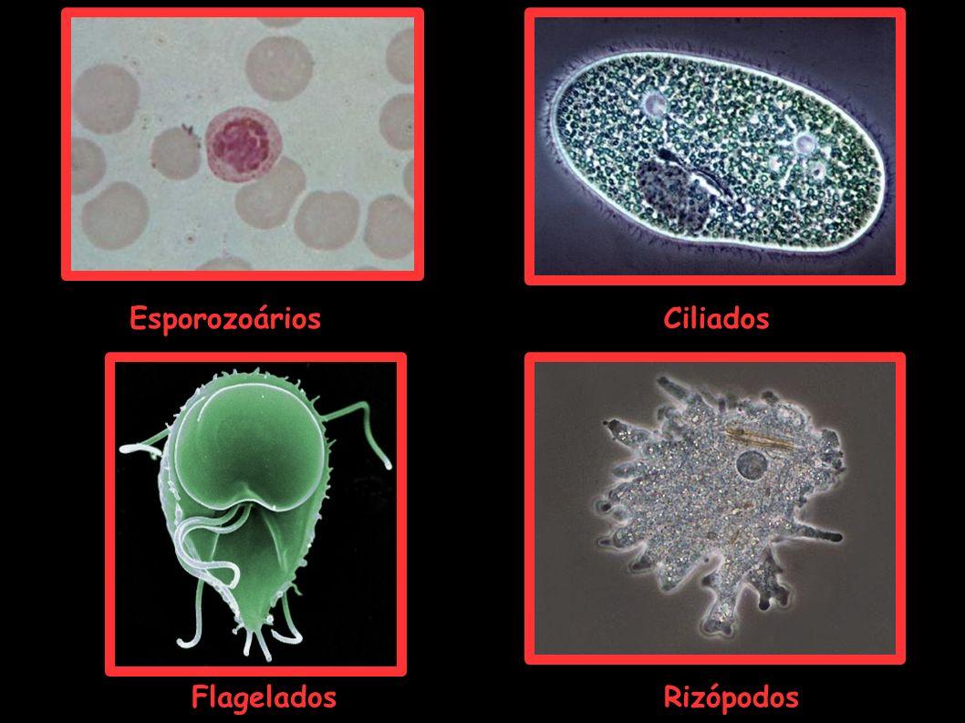 Ciliados RizópodosFlagelados Esporozoários
