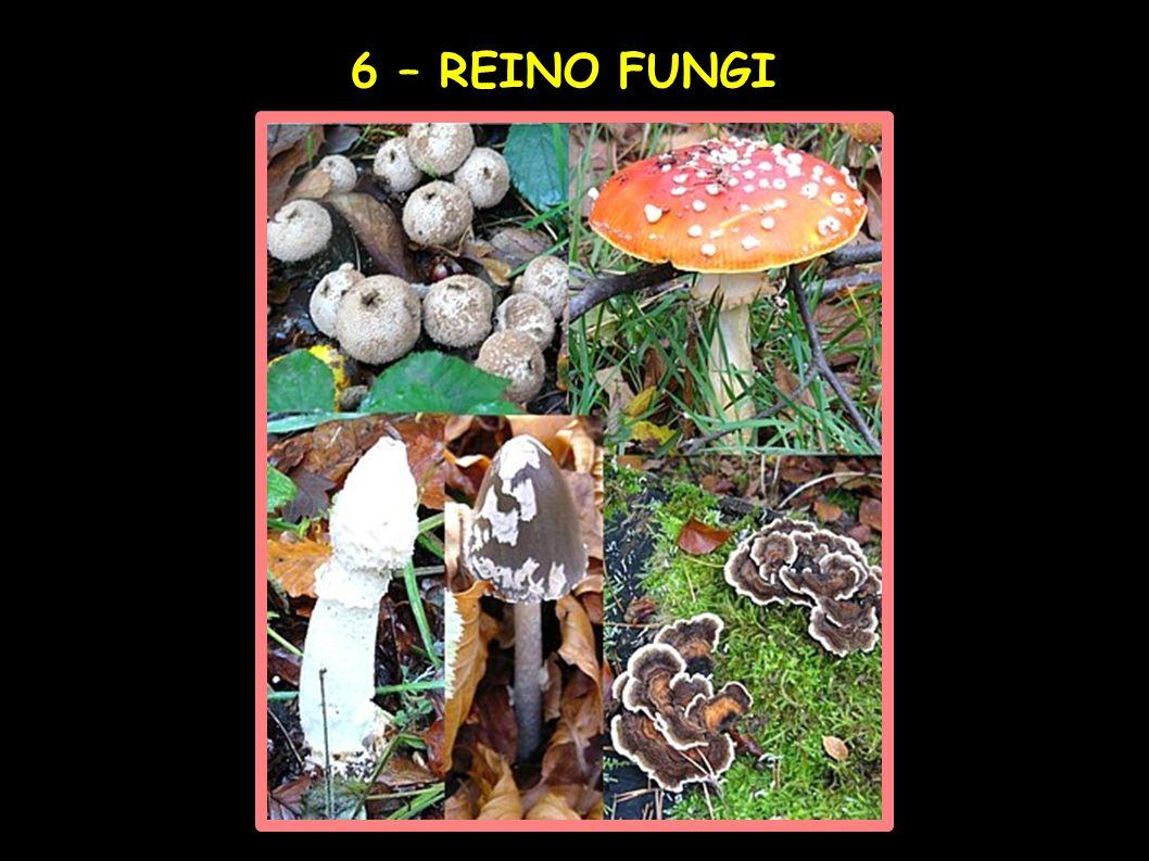 6 – REINO FUNGI