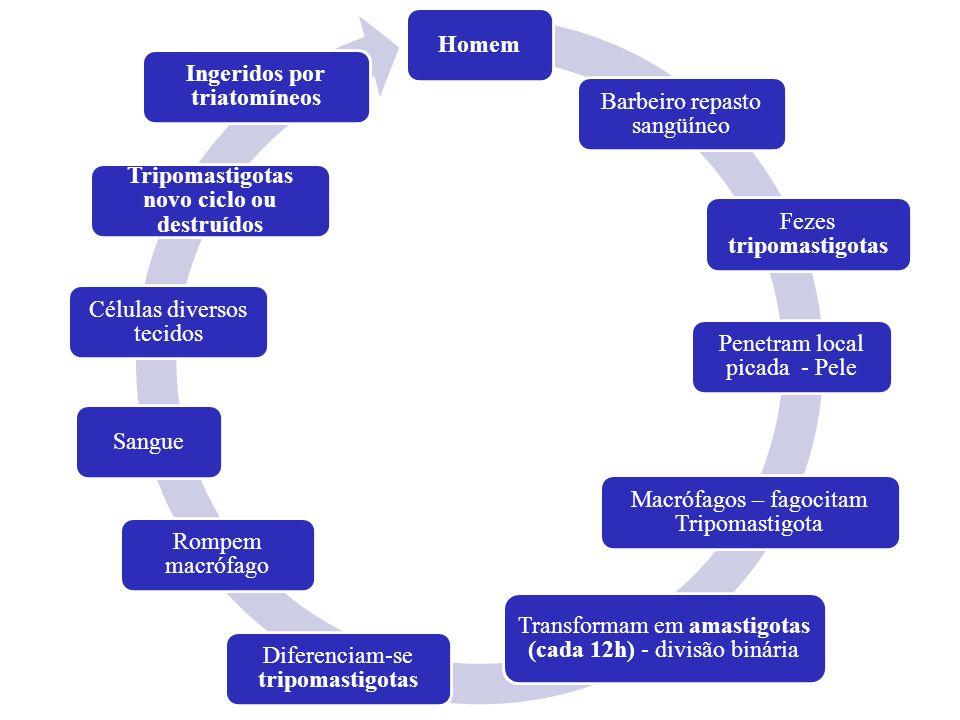 Homem Barbeiro repasto sangüíneo Fezes tripomastigotas Penetram local picada - Pele Macrófagos – fagocitam Tripomastigota Transformam em amastigotas (
