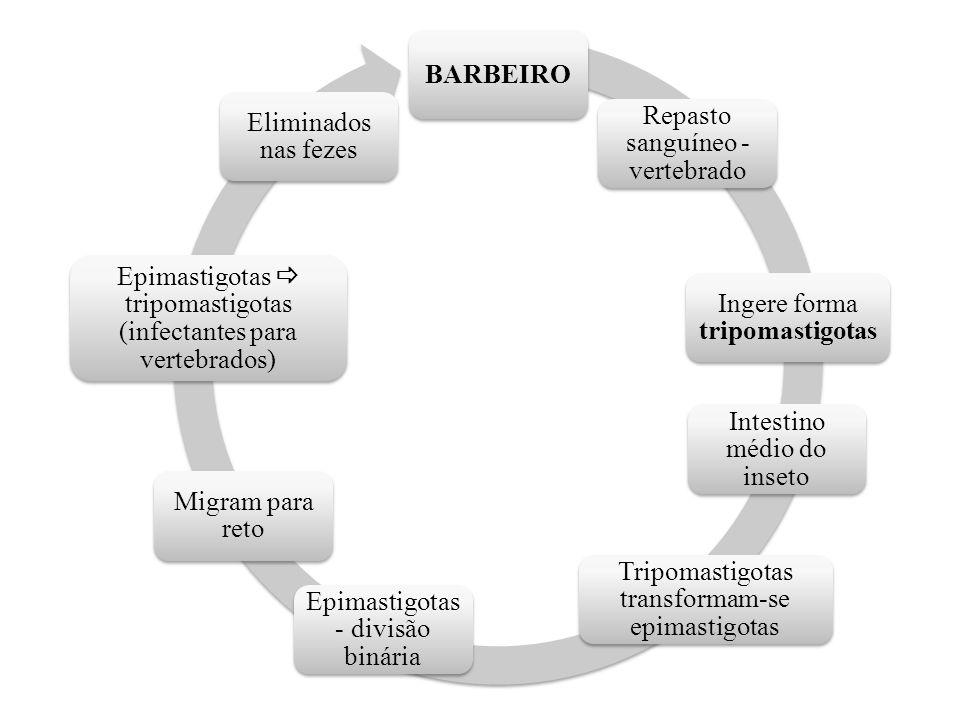 BARBEIRO Repasto sanguíneo - vertebrado Ingere forma tripomastigotas Intestino médio do inseto Tripomastigotas transformam-se epimastigotas Epimastigo