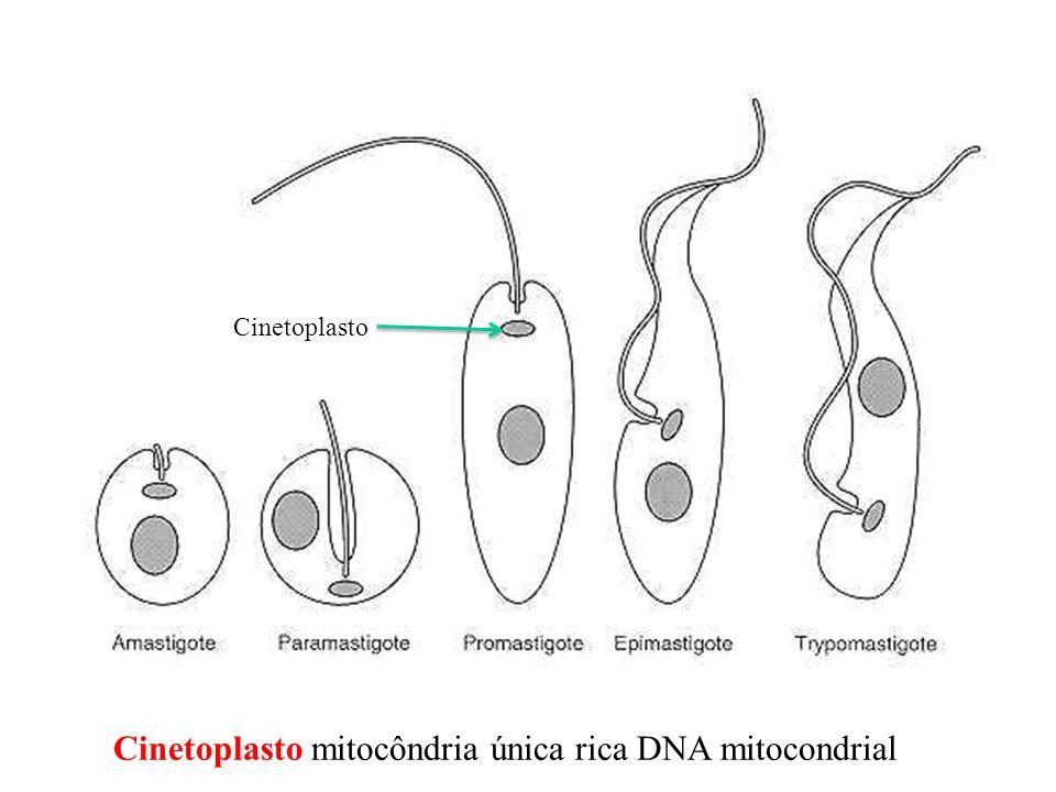 Cinetoplasto Cinetoplasto mitocôndria única rica DNA mitocondrial