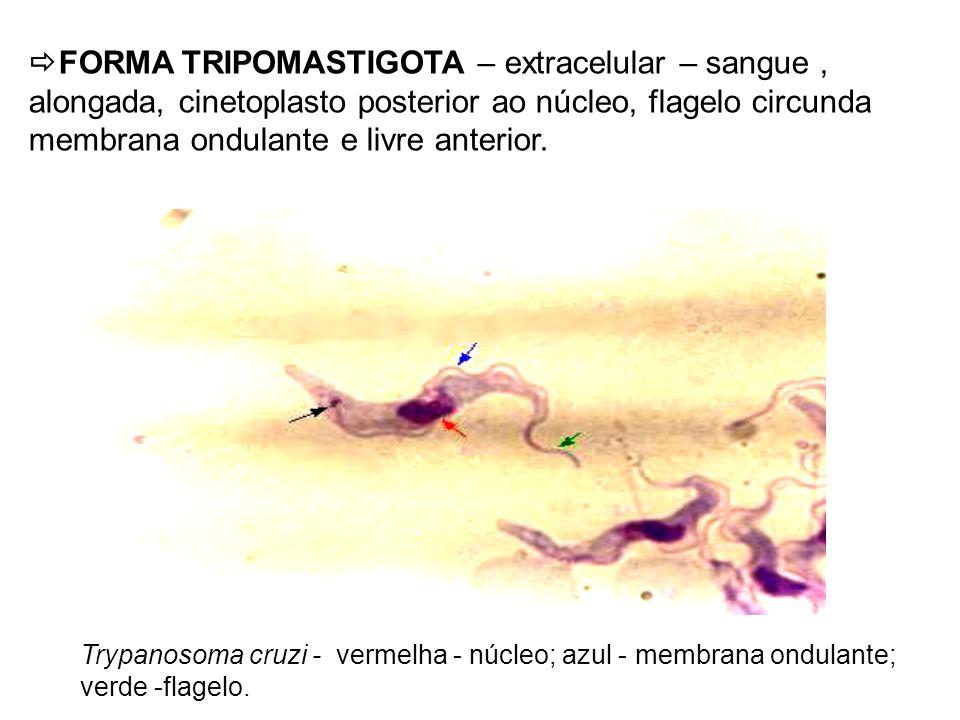 FORMA TRIPOMASTIGOTA – extracelular – sangue, alongada, cinetoplasto posterior ao núcleo, flagelo circunda membrana ondulante e livre anterior. Trypan