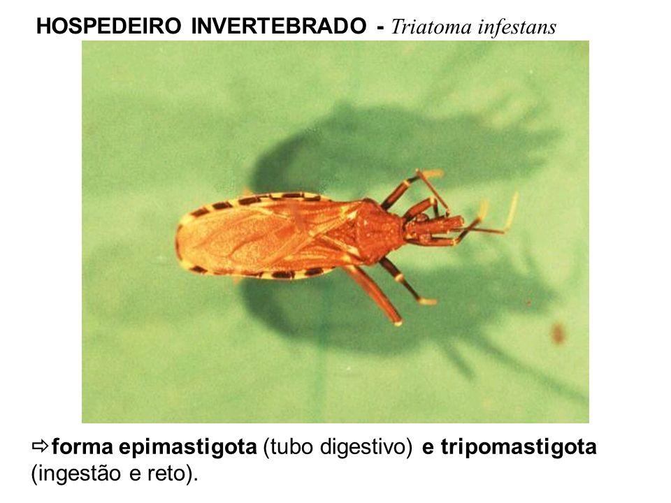 HOSPEDEIRO INVERTEBRADO - Triatoma infestans forma epimastigota (tubo digestivo) e tripomastigota (ingestão e reto).