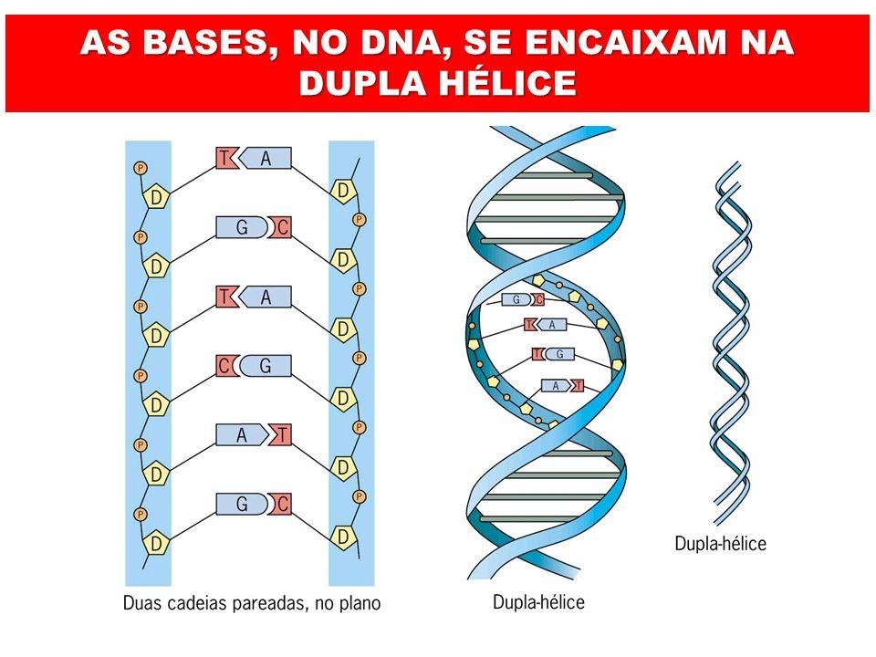 AS BASES, NO DNA, SE ENCAIXAM NA DUPLA HÉLICE