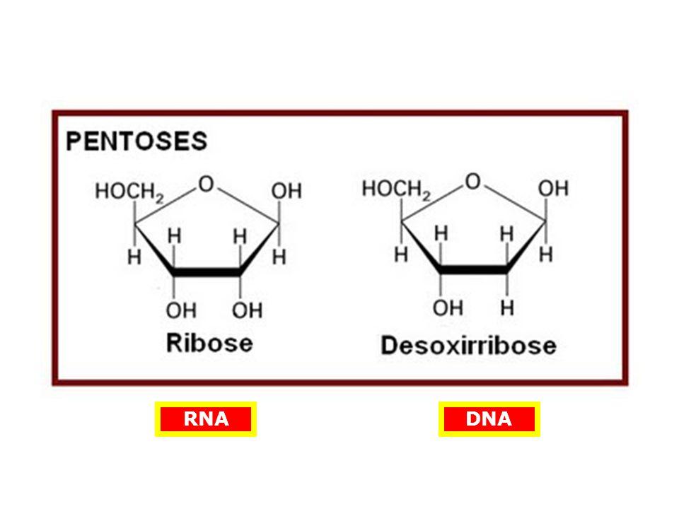 CARACTERÍSTICAS DO CÓDIGO GENÉTICO Código Degenerado SEQÜÊNCIA DE BASES NITROGENADAS SEQÜÊNCIA DE AMINOÁCIDOS Há várias possibilidades de trincas de nucleotídeos para o mesmo aminoácido!!!