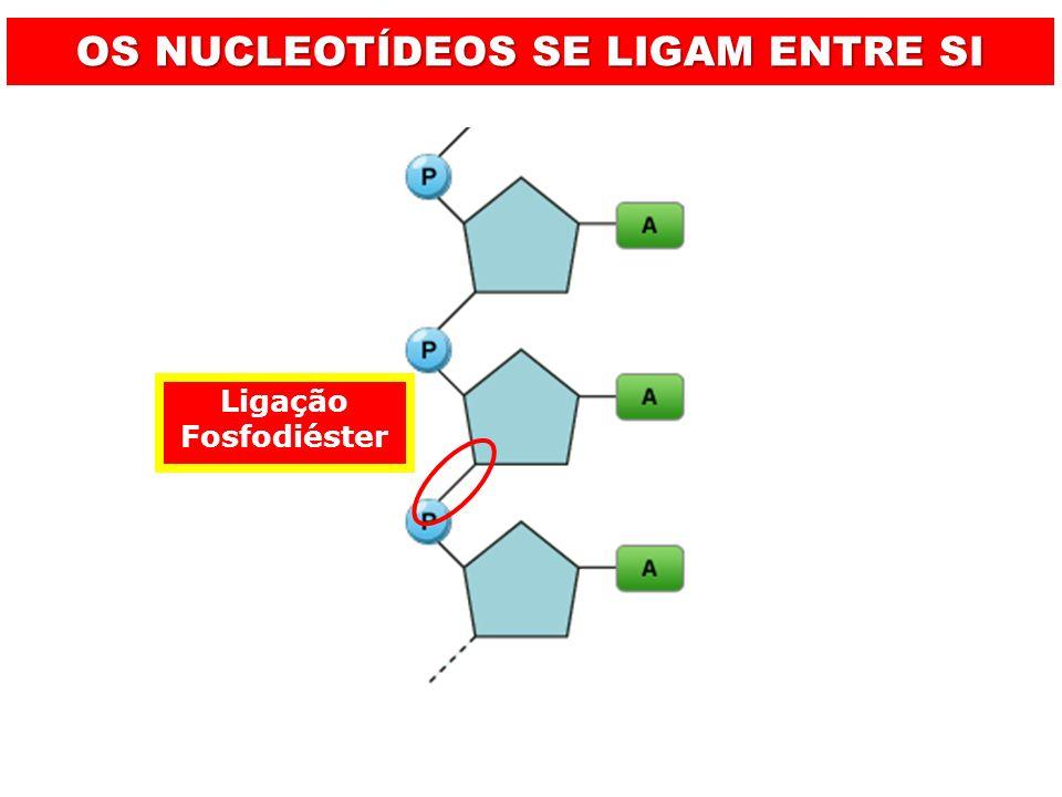 Ligação Fosfodiéster OS NUCLEOTÍDEOS SE LIGAM ENTRE SI
