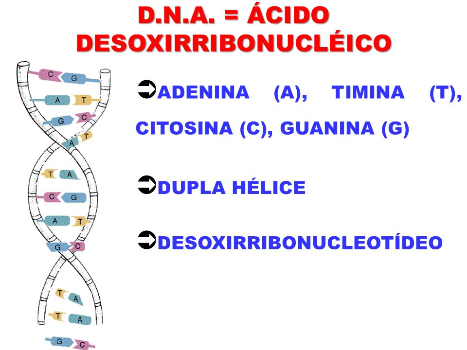 D.N.A. = ÁCIDO DESOXIRRIBONUCLÉICO ADENINA (A), TIMINA (T), CITOSINA (C), GUANINA (G) DUPLA HÉLICE DESOXIRRIBONUCLEOTÍDEO