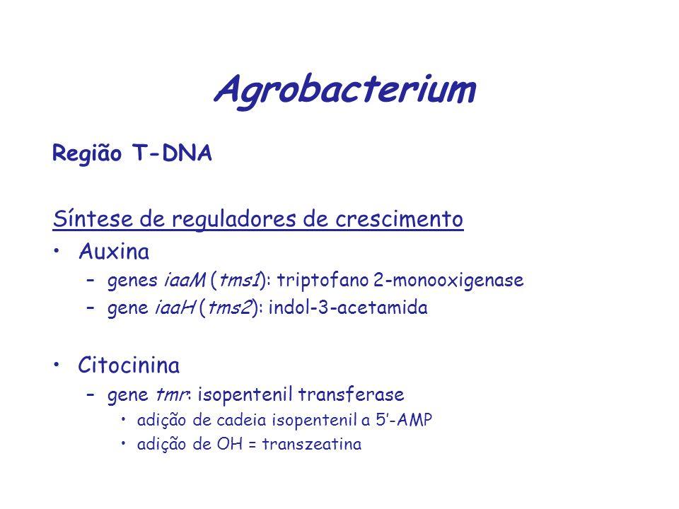Agrobacterium Região T-DNA Síntese de reguladores de crescimento Auxina –genes iaaM (tms1): triptofano 2-monooxigenase –gene iaaH (tms2): indol-3-acet