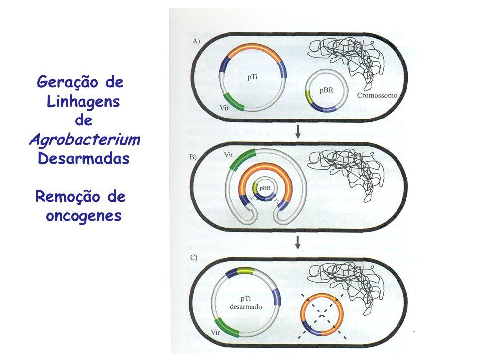 Geração de Linhagens de Agrobacterium Desarmadas Remoção de oncogenes