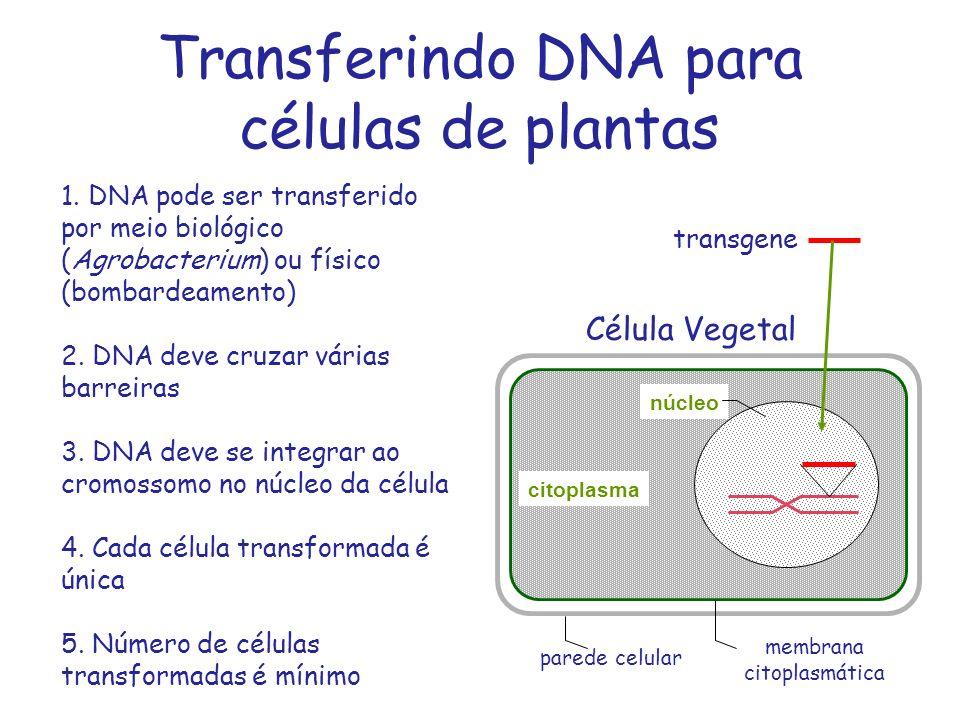Transferindo DNA para células de plantas Célula Vegetal núcleo parede celular membrana citoplasmática transgene 1. DNA pode ser transferido por meio b