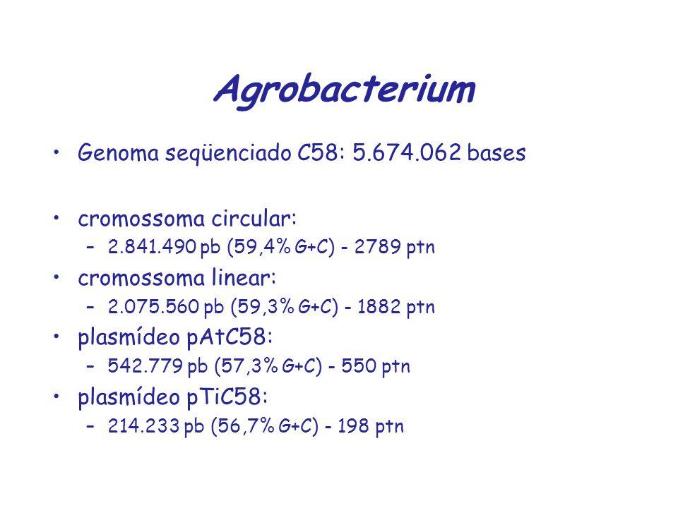 Agrobacterium Genoma seqüenciado C58: 5.674.062 bases cromossoma circular: –2.841.490 pb (59,4% G+C) - 2789 ptn cromossoma linear: –2.075.560 pb (59,3