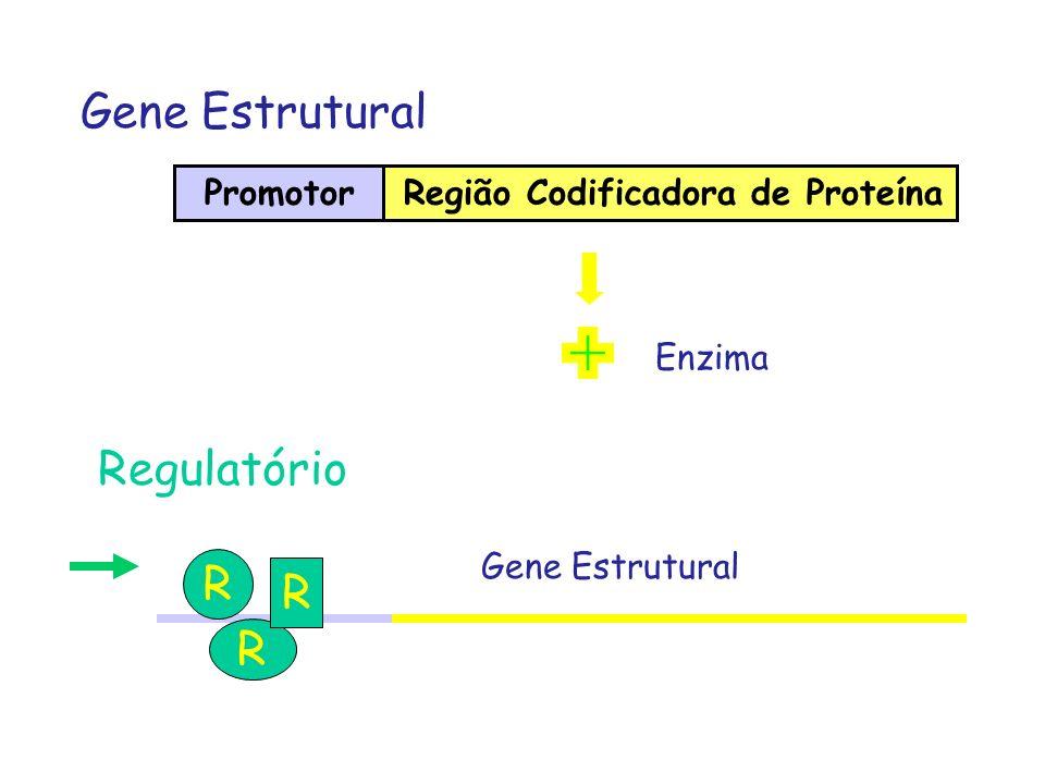 Promotor Gene Estrutural Região Codificadora de Proteína Regulatório R R R Enzima Gene Estrutural