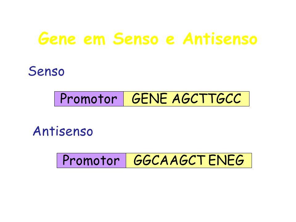 Gene em Senso e Antisenso Promotor GGCAAGCT ENEG Senso Promotor GENE AGCTTGCC Antisenso