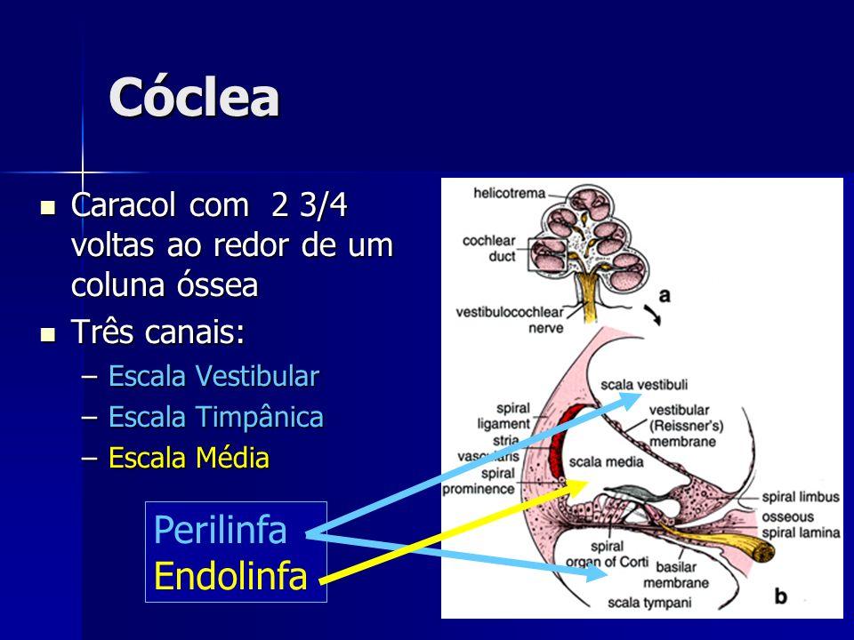 Fisiologia Perilinfa – similar ao LCR (alto Na+, baixo K+) Perilinfa – similar ao LCR (alto Na+, baixo K+) Endolinfa – produzida na Stria Vascularis (baixo Na+, alto K+); escala media Endolinfa – produzida na Stria Vascularis (baixo Na+, alto K+); escala media