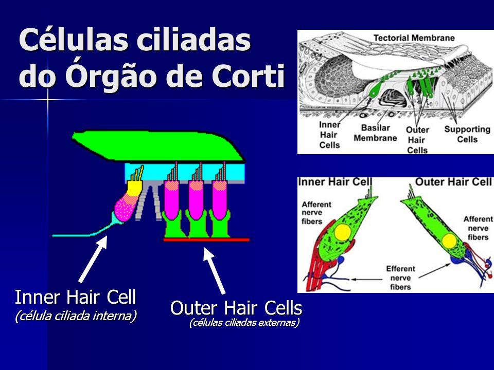 Células ciliadas do Órgão de Corti Outer Hair Cells (células ciliadas externas) Inner Hair Cell (célula ciliada interna)