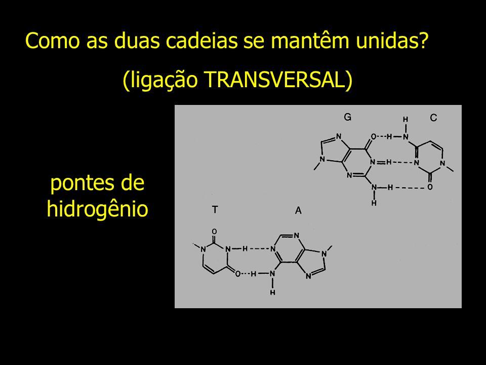 Como as duas cadeias se mantêm unidas? (ligação TRANSVERSAL) pontes de hidrogênio