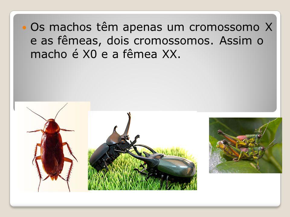 SistemaX0 Os machos têm apenas um cromossomo X e as fêmeas, dois cromossomos. Assim o macho é X0 e a fêmea XX.