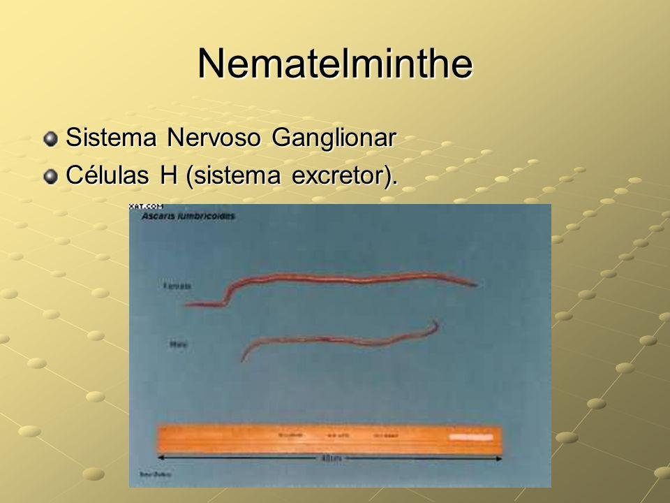 Nematelminthe Sistema Nervoso Ganglionar Células H (sistema excretor).