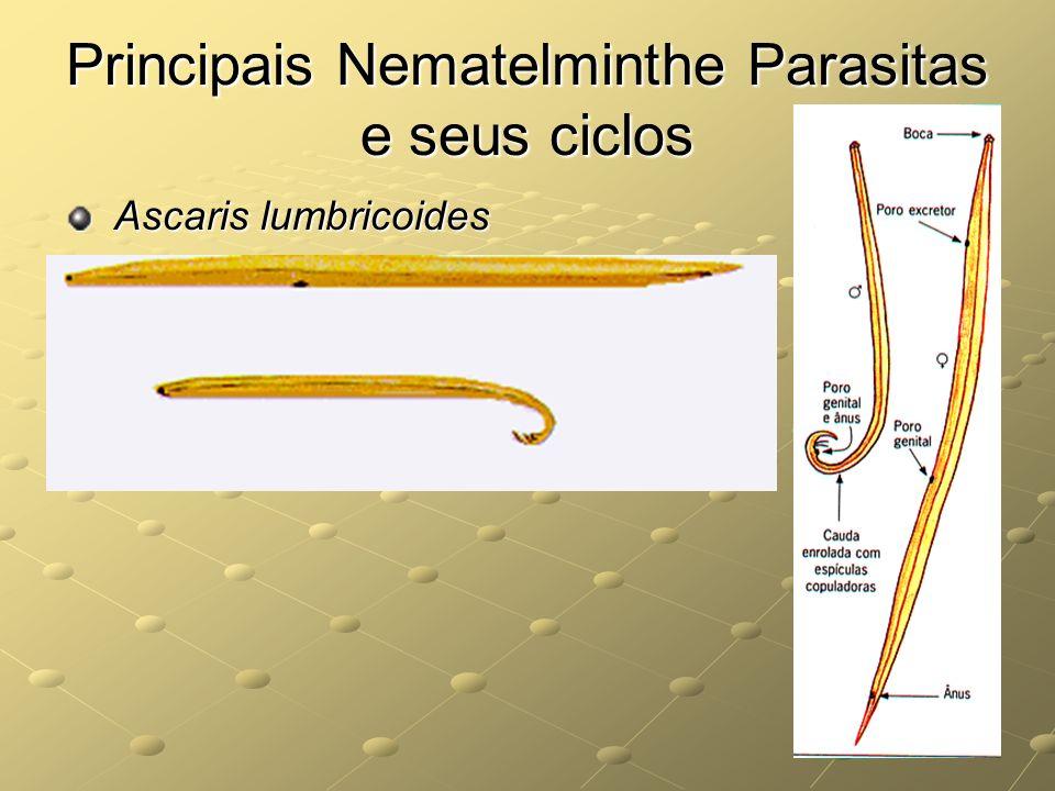 Principais Nematelminthe Parasitas e seus ciclos Ascaris lumbricoides Ascaris lumbricoides