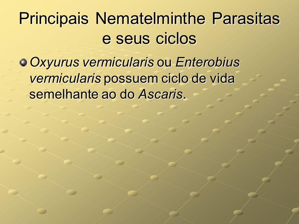 Principais Nematelminthe Parasitas e seus ciclos Oxyurus vermicularis ou Enterobius vermicularis possuem ciclo de vida semelhante ao do Ascaris.