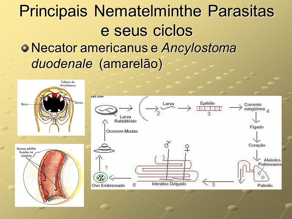 Principais Nematelminthe Parasitas e seus ciclos Necator americanus e Ancylostoma duodenale (amarelão)