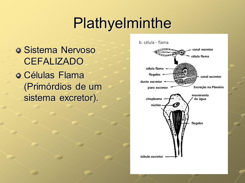 Plathyelminthe Sistema Nervoso CEFALIZADO Células Flama (Primórdios de um sistema excretor).