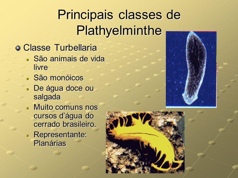 Principais classes de Plathyelminthe Classe Turbellaria São animais de vida livre São animais de vida livre São monóicos São monóicos De água doce ou