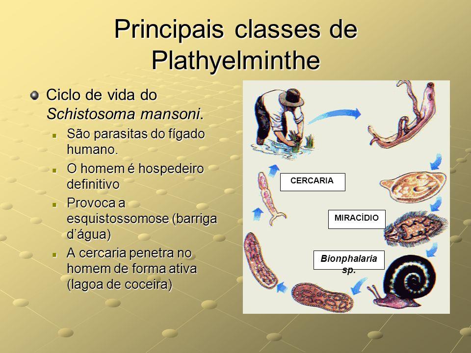 Principais classes de Plathyelminthe Ciclo de vida do Schistosoma mansoni. São parasitas do fígado humano. São parasitas do fígado humano. O homem é h