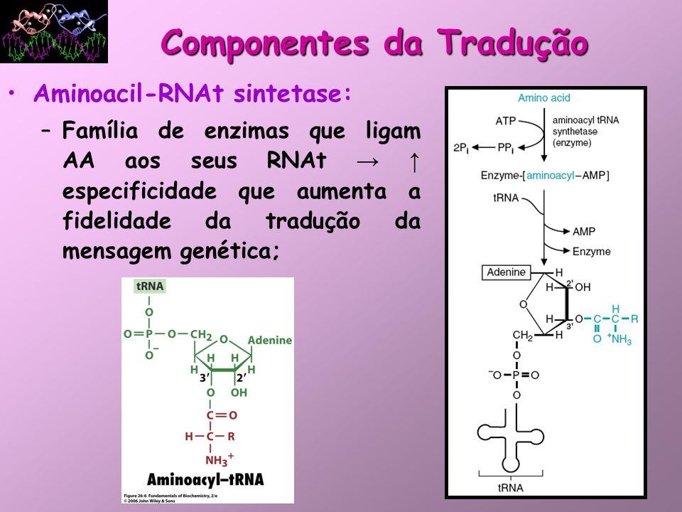 Aminoacil-RNAt sintetase: –Família de enzimas que ligam AA aos seus RNAt especificidade que aumenta a fidelidade da tradução da mensagem genética; Com