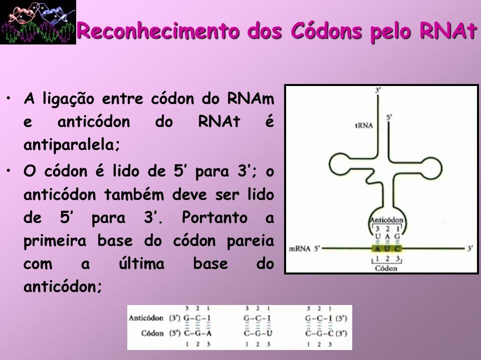 Hipótese da Oscilação: –Se a trinca do anticódon reconhecesse apenas 1 trinca do códon por pareamento, as células deveriam ter 1 RNAt para cada códon de AA NÃO É O QUE OCORRE!; –As 2 primeiras bases do códon formam pares de bases Watson-Crick com fortes pontes de hidrogênio dão especificidade da codificação; –A terceira base do códon que pareia com a primeira base do anticódon forma pontes de hidrogênio mais fracas e a primeira base do anticódon pode parear com mais de 1 base.